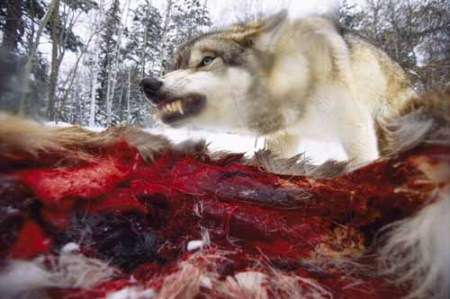 wolfdeer5