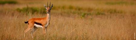 Gazelle single